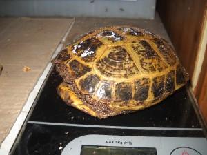 Samička testudo horsfieldi (želva čtyřprstá-stepní)